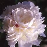 "Paeonia lactiflora ""Festiva maxima"""