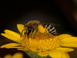 Colletes similis an Anthemis tinctoria