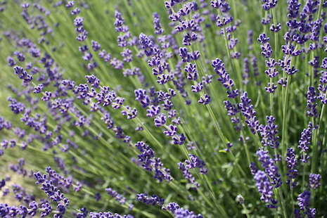 Lavendelwelten