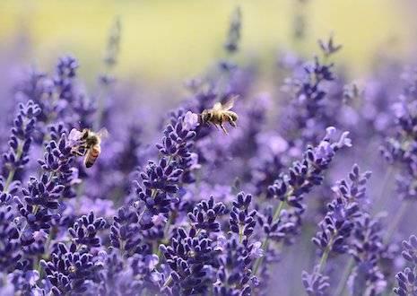 Rundgang zu den Lavendelpflanzen