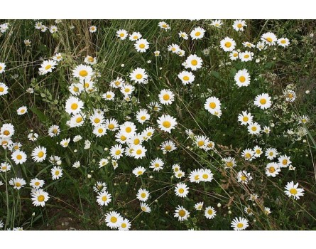 Margerite, Wildform (Leucanthemum vulgare)