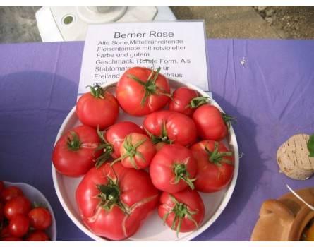 Tomate, Berner Rose