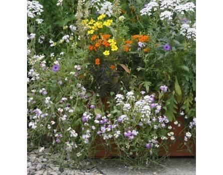 Duftpflanzen-Prachtmischung (Saatgut)