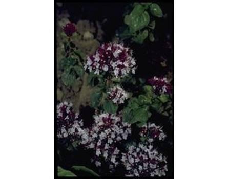 Wilder Majoran (Origanum vulgare)