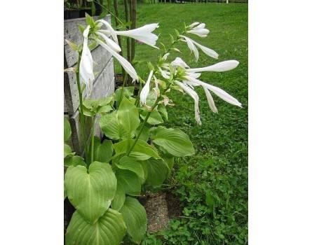"Lilien-Funkie (Hosta plantaginea ""Grandiflora"")"