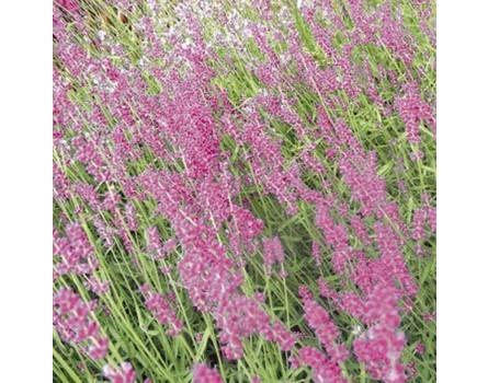 """Lavendel-Sorte (Lavandula angustifolia """"Miss Katherine"""")"""