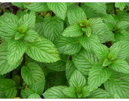 Ricola Minze (Mentha spicata x piperita)