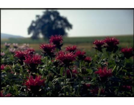 """Monarden-Sorte (Monarda hybrida """"Ruby Glow"""")"""