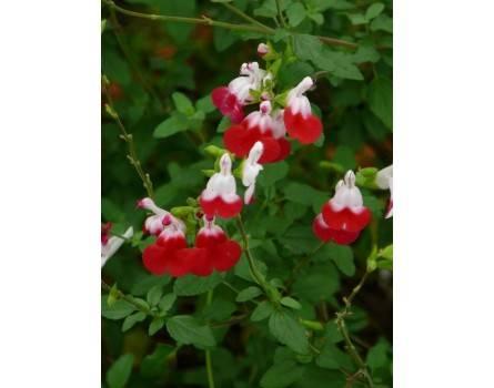 Pfirsichsalbei (Salvia greggii 'Hot Lips')