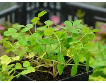 Würzsilie / Muskatwürze (Sison amomum)