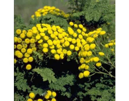 Krauser Rainfarn (Tanacetum vulgare crispum)