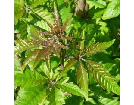 Chinesischer Keuschheitsbaum (Vitex negundo var. heterophylla)