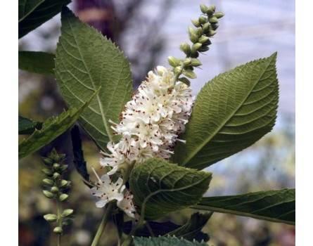 Zimt-Erle, Clethra alnifolia