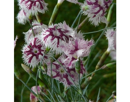 "Lumnitzers Nelke (Dianthus lumnitzeri ""Tatra Fragrance"")"
