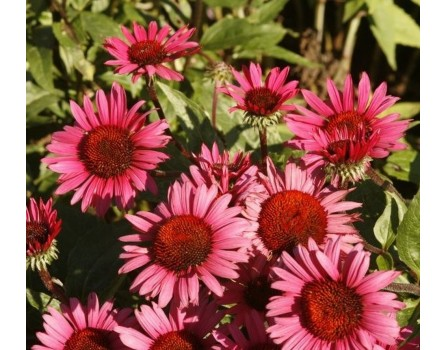 "Roter Sonnenhut (Echinacea purpurea ""Fatal Attraction"")"