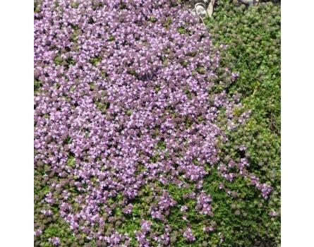"Kümmelthymians (Thymus herba-barona ""Citriodora"")"