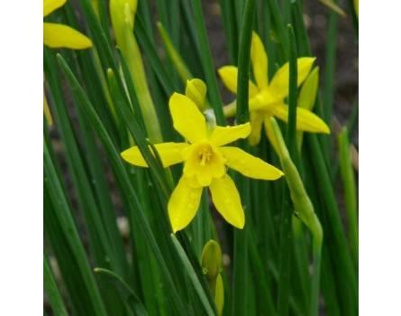 """Triandrus Narzisse (Narcissus """"Hawera"""")"""
