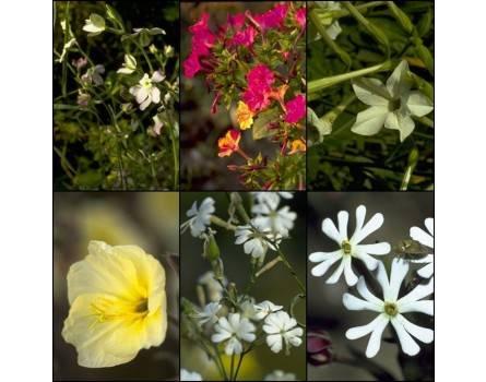 Nachtduftende Pflanzen