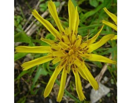 Wiesenbocksbart (Tragopogon orientalis)