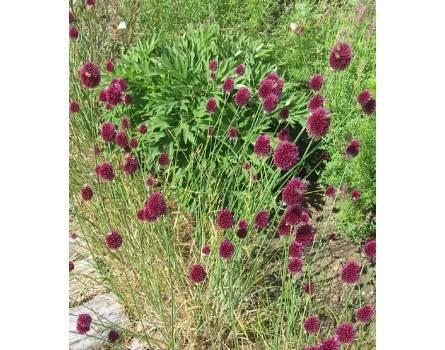 Kopflauch (Allium sphaerocephalon)