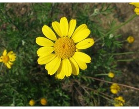 Färberkamille, Wildform (Anthemis tinctoria)