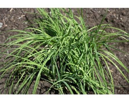 Chinesischer Schnittlauch (Allium odorum syn. ramosum)