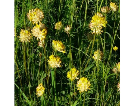 Echter Wundklee, Wildform (Anthyllis vulneraria)