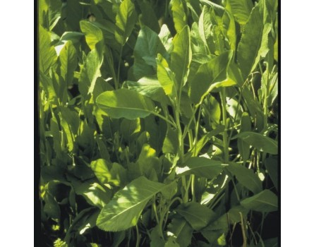 Marienblatt (Chrysanthemum balsamita syn. Balsamita major)