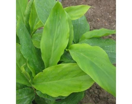 Blatt-Kardamon (Elettaria cardamomum)