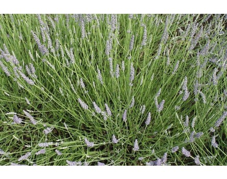 "Lavendel-Sorte (Lavandula angustifolia ""Hegau"")"
