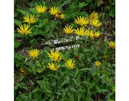 Ochsenauge (Buphtalmum salicifolium)