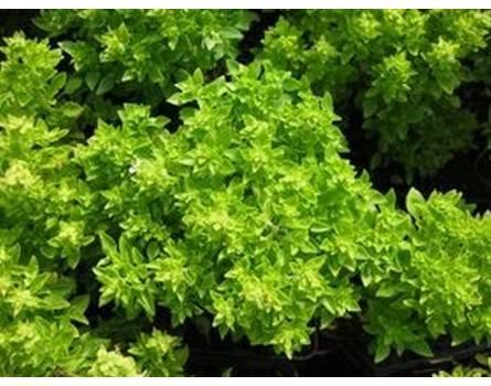 Buschbasilikum (Ocimum basilicum minimum)