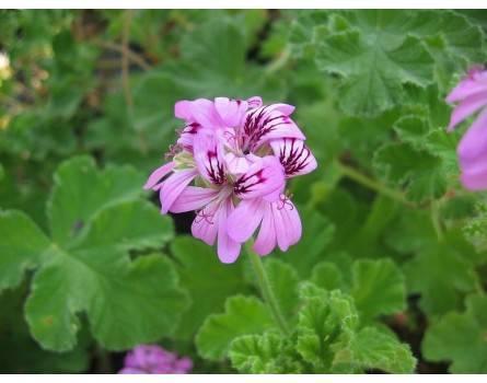 Pelargonie (Pelargonium capitatum)