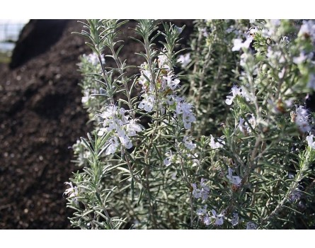 "Rosmarin-Sorte (Rosmarinus officinalis ""Arp"")"