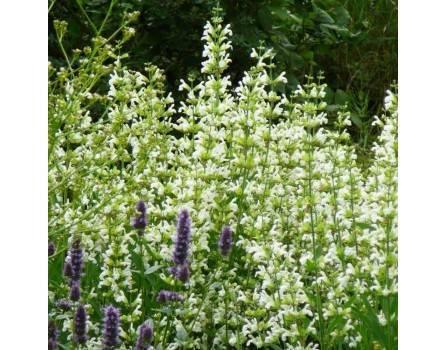 """Küchensalbei, Gartensalbei (Salvia officinalis """"Alba"""")"""