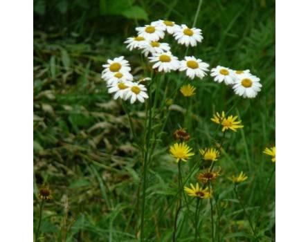 Büschelmargerite (Chrysanthemum corymbosum)