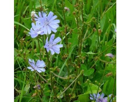Wegwarte, Wildform (Cichorium intybus)
