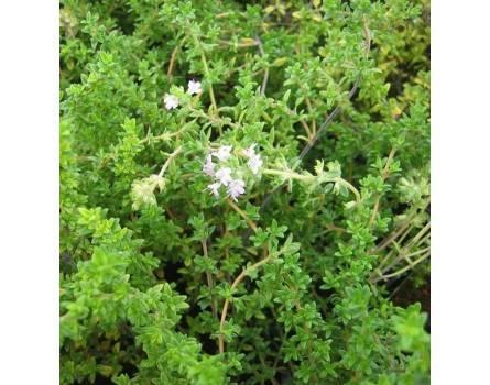 Lavendel-Thymian (Thymus thracicus)