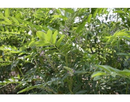 Süßholz (Glycyrrhiza glabra)