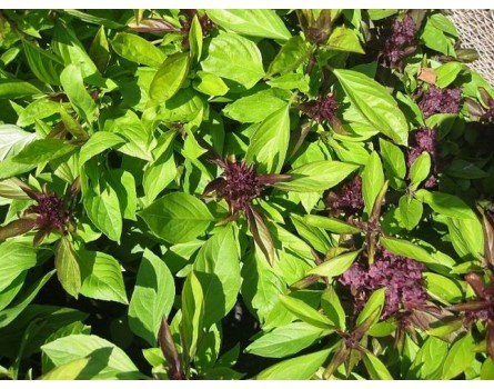 "Thailand-Basilikum (Ocimum basilicum ""Thai"")"