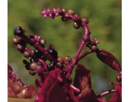 Malabar-Spinat (Basella rubra)