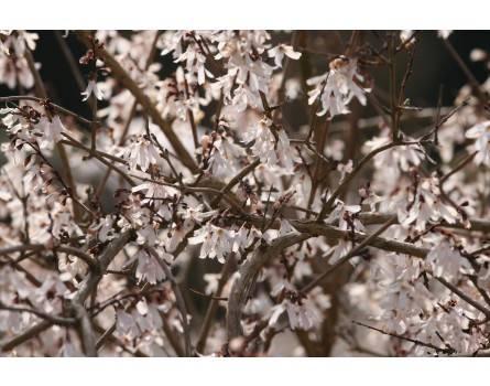 Weiße Duftforsythie (Abeliophyllum distichum)