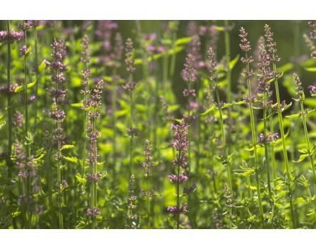 Lavendel-Agastache