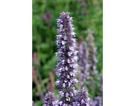 "Agastache-Auslese (Agastache hybrida ""Blue Fortune"")"