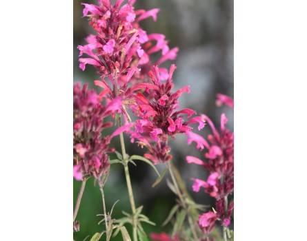 Prachtagastache (Agastache lanceolata)