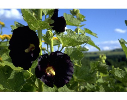 Schwarze Stockrose (Alcea rosea var. nigra)