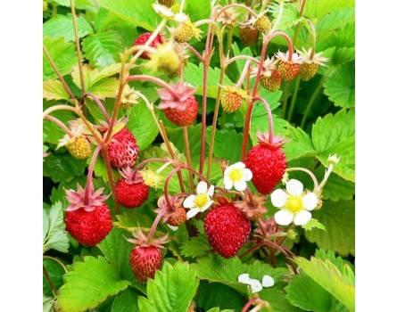 Monatserdbeere