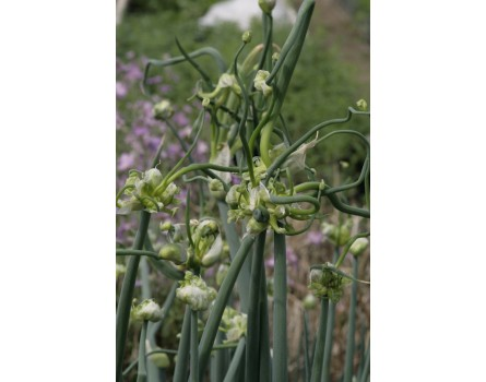 Etagenzwiebel (Allium cepa var. viviparum)