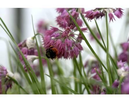 Allium cyathophorum var. farreri (Farrers Becher-Lauch)