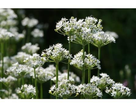 Allium tuberosum (Schnittknoblauch)